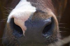 Nariz de uma vaca Fotos de Stock