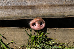 Nariz del cerdo imagenes de archivo