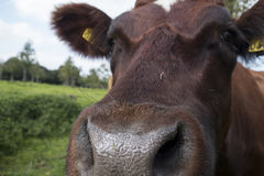 Nariz del ganado (familiar vacas) Fotografía de archivo libre de regalías
