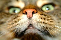 Nariz del gato Fotografía de archivo