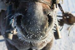 Nariz do cavalo Fotos de Stock Royalty Free