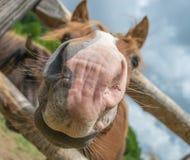 Nariz do cavalo Imagem de Stock Royalty Free