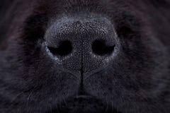 Nariz do filhote de cachorro preto molhado de Labrador Fotografia de Stock Royalty Free