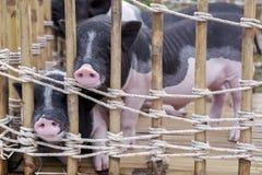 Nariz do porco preto e branco do bebê foto de stock