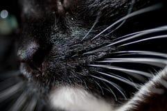 Nariz e bigode de um gato Fotos de Stock Royalty Free