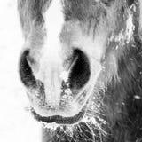 Nariz e narinas do detalhe 202 do cavalo imagem de stock