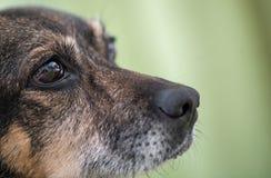 Nariz e olho do ` s do cão Imagem de Stock
