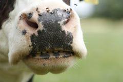Nariz engraçado da vaca Imagem de Stock Royalty Free