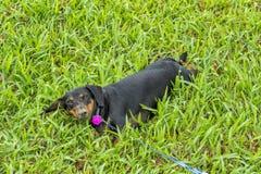 Nariz enlameado de um cão feliz imagens de stock royalty free