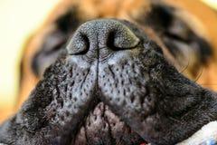 Nariz grande do cão Fotos de Stock Royalty Free