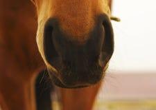 Nariz melenuda negra del caballo Fotografía de archivo libre de regalías