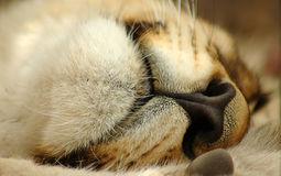 Nariz y boca del león Fotos de archivo
