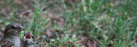 Narożnikowi wróble - wąski w/blur fotografia stock