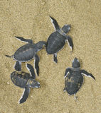 narodziny daje żółwie Fotografia Royalty Free