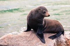 Narooma foka zdjęcie stock