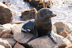 Narooma Seal Royalty Free Stock Photo