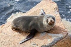 Narooma Seal Stock Photos