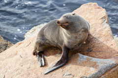 Narooma Seal Royalty Free Stock Image
