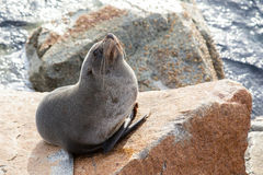 Narooma Seal Royalty Free Stock Images