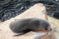 Narooma Seal Stock Images