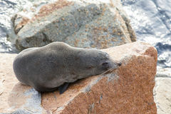 Narooma Seal Stock Photo