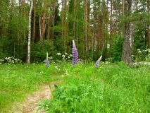 Narrew Forest Path, Summer Stock Photo
