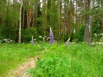 Narrew skogbana, sommar Arkivfoto