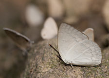 Narrow-banded sunbeam butterfly Royalty Free Stock Photography
