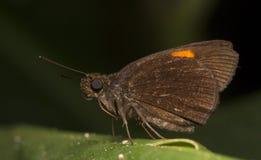 The Narrow-banded Velvet Bob Koruthaialos rubecula on the green leaf with black background, Thailand, Hesperiidae stock photo