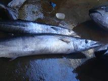 Narrow-barred Spanish mackerel freshly caught by artisanal Filipino fishermen. Artisanal Filipino fishermen use a variety of fishing gears and techniques to Stock Photography