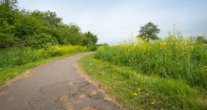 Narrow bike path between yellow flowering Field Mustard and othe Royalty Free Stock Photo