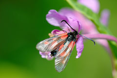 Narrow-Bordered Five-Spot Burnet Stock Photography