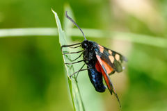 Narrow-Bordered Five-Spot Burnet Stock Image