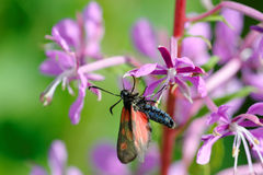 Narrow-Bordered Five-Spot Burnet Royalty Free Stock Photography