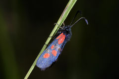Narrow-bordered five-spot burnet moth Royalty Free Stock Photos
