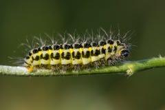 Narrow-bordered five-spot burnet moth & x28;Zygaena lonicerae& x29; caterp Stock Images
