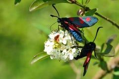 Narrow-bordered five-spot burnet moths (Zygaena lonicerae) Royalty Free Stock Photography