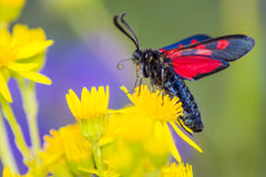 The Narrow-Bordered Five-Spot Burnet (Zygaena lonicerae)s Schneider) Royalty Free Stock Photo