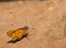 The narrow-branded palm dart butterfly Stock Images