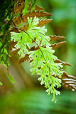 Narrow Filmy Fern Royalty Free Stock Image