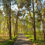 Narrow foot path in pine forest in spring Royalty Free Stock Photo