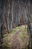 Narrow footpath goes through birch forest Royalty Free Stock Images