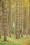 Narrow footpath through pine tree forest Stock Photography