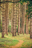 Narrow footpath through pine tree forest Royalty Free Stock Image