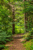 Narrow forest path in a coniferous forest Royalty Free Stock Photos