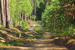The narrow forest road. Along the glade in the pine forest Stock Photo