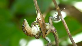 Narrow headed vine snake royalty free stock images