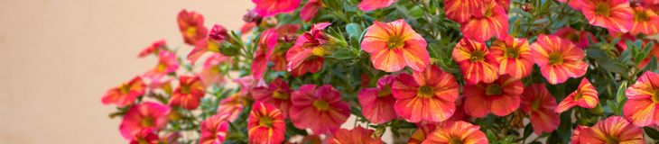 Narrow image of red flowers. Can be used for website header or banner royalty free stock photography
