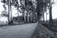 Narrow lane of eucalyptus trees on a dirt road in artistic conve Stock Image