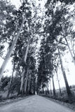 Narrow lane of eucalyptus trees on a dirt road in artistic conve Royalty Free Stock Photography